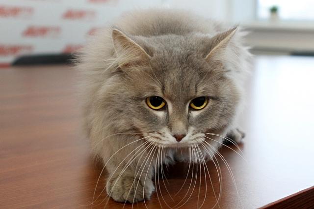 Сибирский кот Юстин.