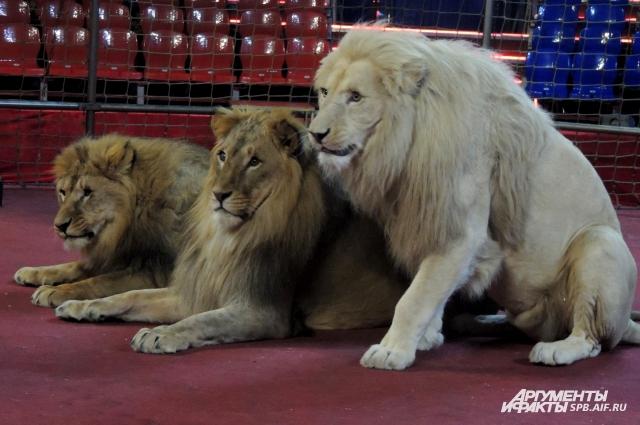 Львы выполняют все команды Гончарова.