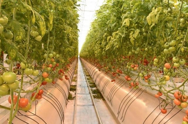 Свежие помидоры из теплицы попадут на столы жителей нашей республики и даже других регионов