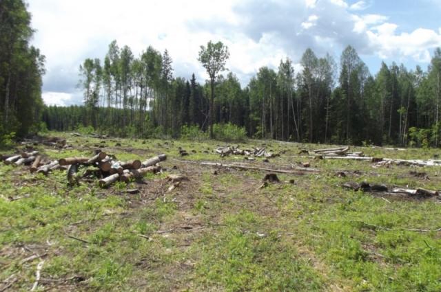 За пять лет площадь городских лесов сократилась вдвое.
