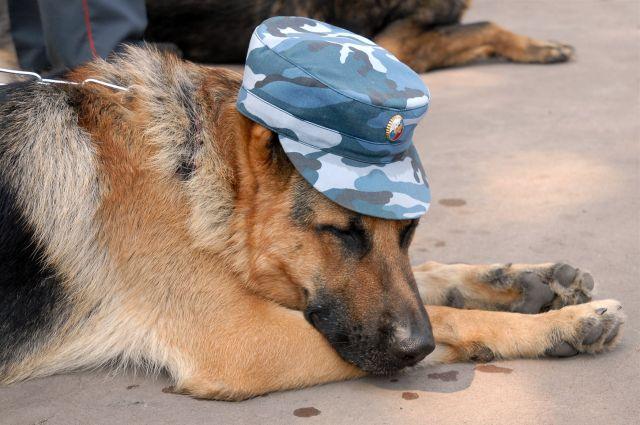 Служебная собака, овчарка