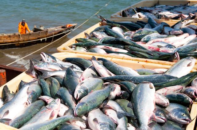 Сахалин– удивительно богатое природными ресурсами место. Нафото: рыболовецкое судно во время промысла горбуши. В2019 г. сахалинские рыбаки планируют добыть 80 тыс. т лососёвых рыб.