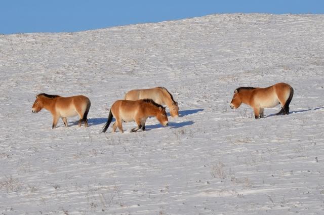 Нормально глубиной снега для лошадей считается 40 см.
