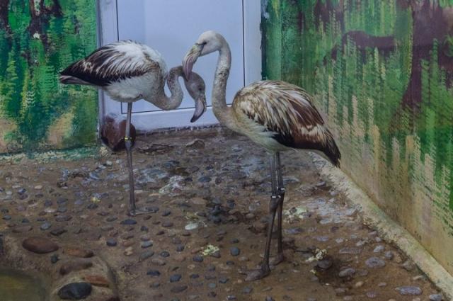 Фламинго пролетали над Красноярским краем и отбились от стаи