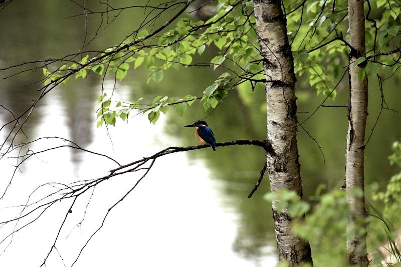 Зимородок птица редкая: он занесён в Красную книгу