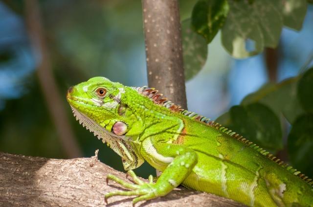Игуаны живут в Центральной и Южной Америке.