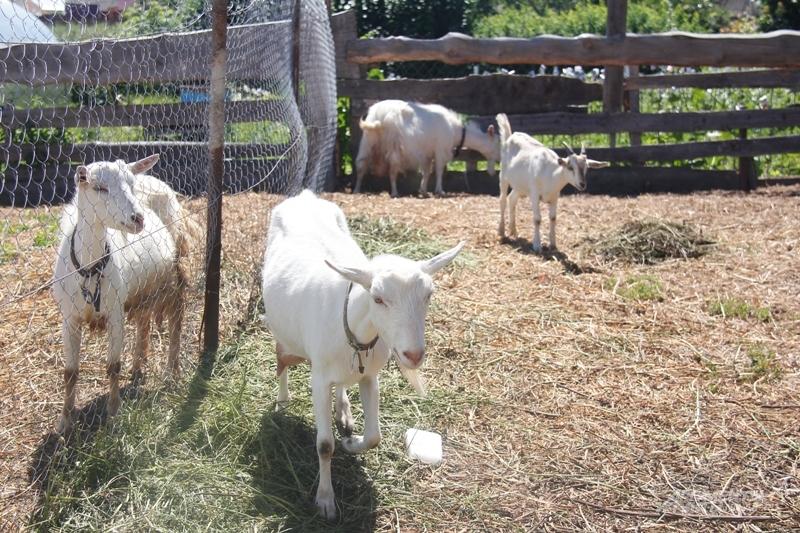 Сначала Данил купил коз и решил производить козий сыр, но потом завел и корову.
