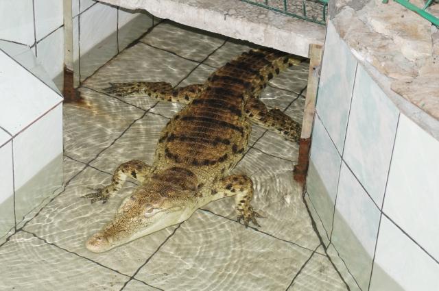 Крокодил Лакостик