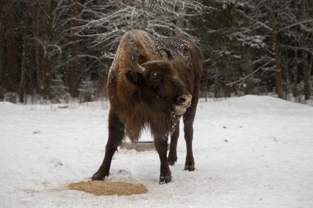 Зимой всё внимание туристов сосредоточено на зубрах, которых сейчас насчитывается 35.