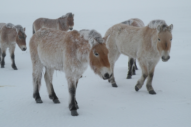 Порой лошадкам приходится совсем тяжело передвигаться по насту или глубокому снегу.