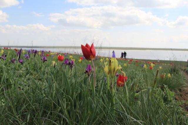 В Манчской долине растут три вида тюльпанов.