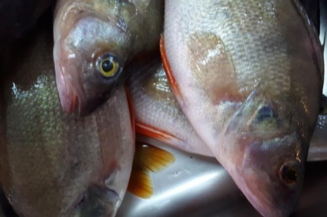 Окуни могут стать причиной интоксикации, а также другие речные хищные рыбы.