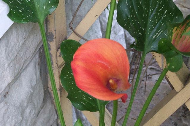 Сорта бывают икрасного цвета.