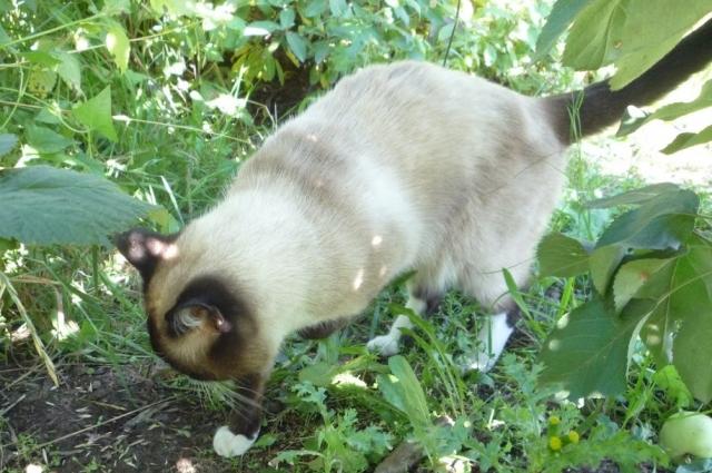 За здоровье кошек из-за клещей можно не переживать.