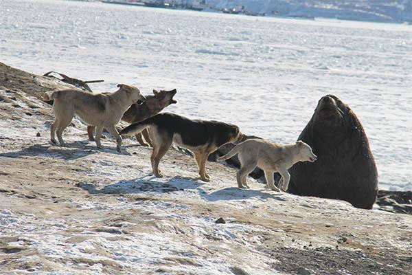 Стая собак с громким лаем нападает на сивуча.
