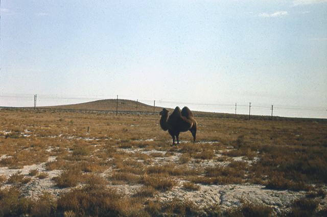 Верблюды космодрома