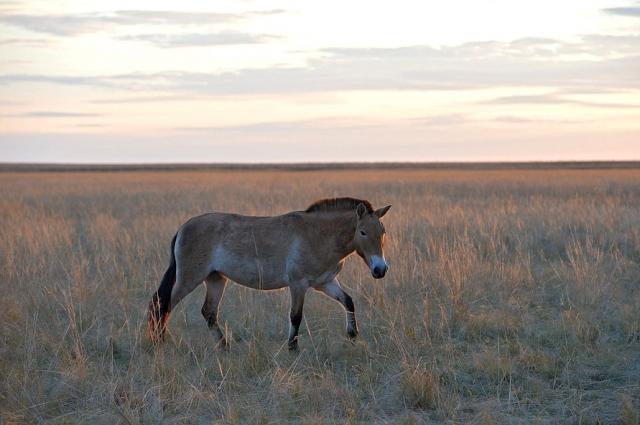 15 лошадей Пржевальского ожидают в Оренбуржье через пару недель.