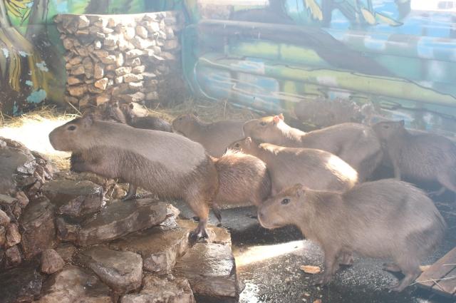 Капибары в пермском зоопарке активно размножаются.