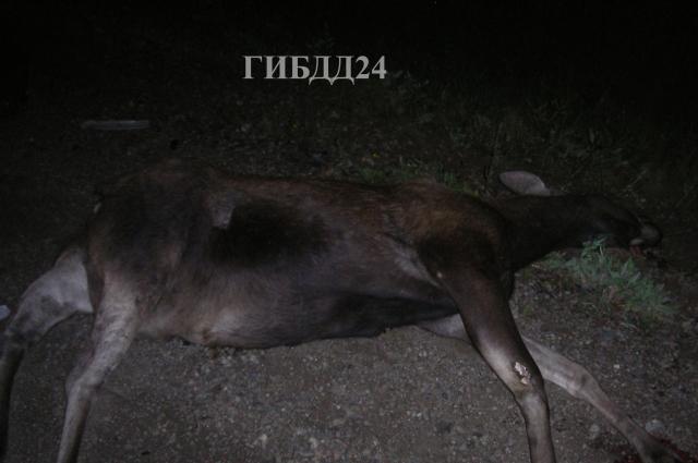 С начала года произошло около 200 ДТП с участием диких животных.
