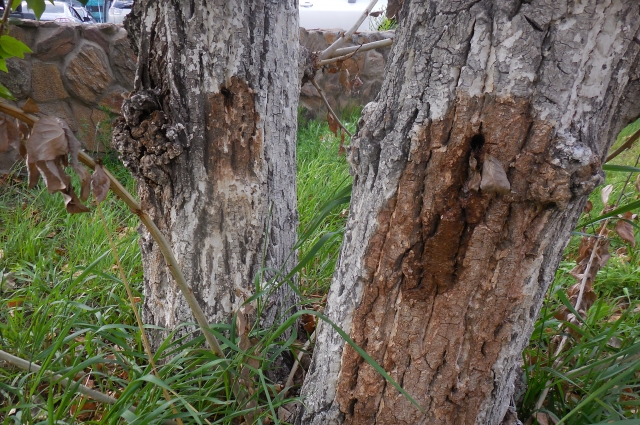 Вот так уничтожаются тополя в Чите.