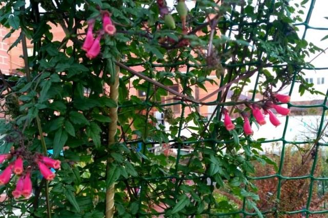 Повторное цветение в октябре. Тюмень.