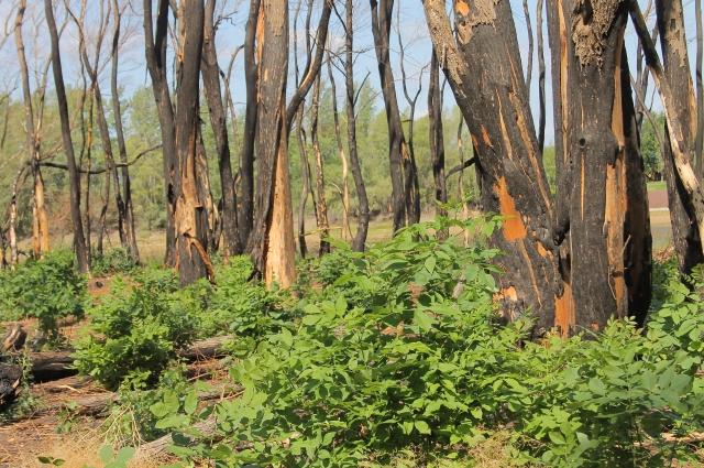 Огонь повредил 0,3 га лесных насаждений.