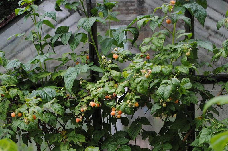 Куст малины