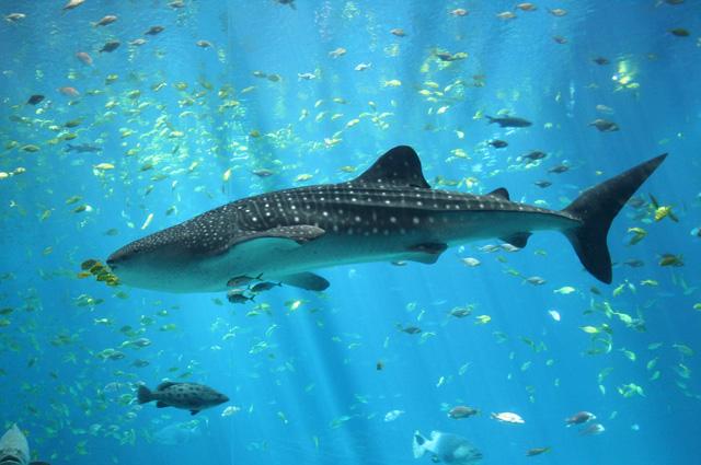 Китовая акула.