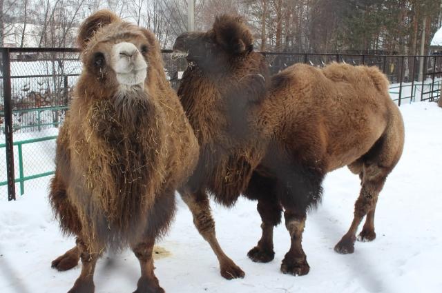 Верблюды уверенны: «нужно не замечать недостатков друг друга».