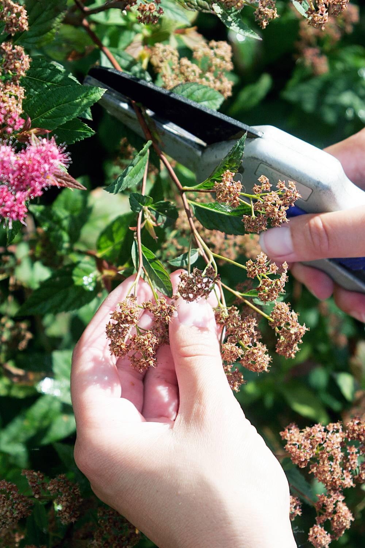 Некоторые цветущие растения в сентябре обрезают.