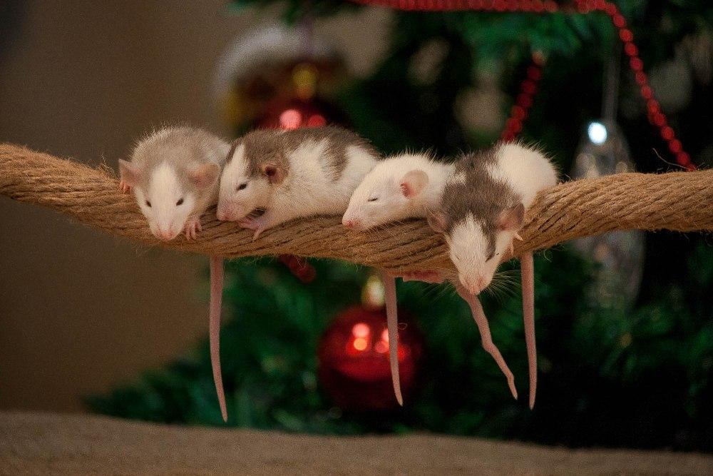 Милые маленькие крысята