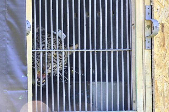 Леопардов доставили в Северную Осетию из Сочи на вертолётах МЧС.