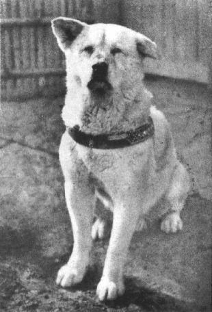 Хатико ждал своего хозяина несколько лет.