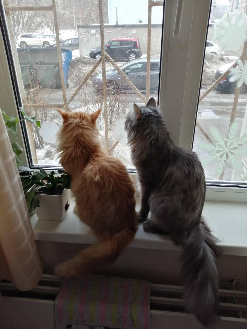 Коты Тайсон и Семен.