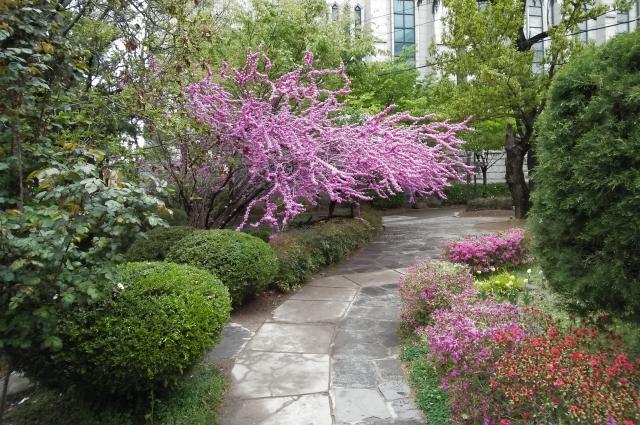 С начала апреля Корея цветёт.