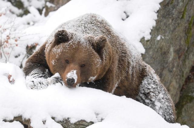 Во время сна у медведей уменьшается дыхание, частота сердцебиения и уровень поглощения кислорода, но эти животные могут просыпаться зимой, а самки - даже рожать в берлогах.