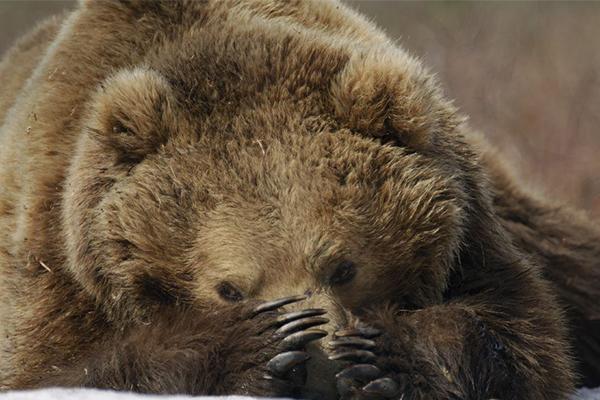 Камчатский медведь - один из самых крупных хищников в мире.