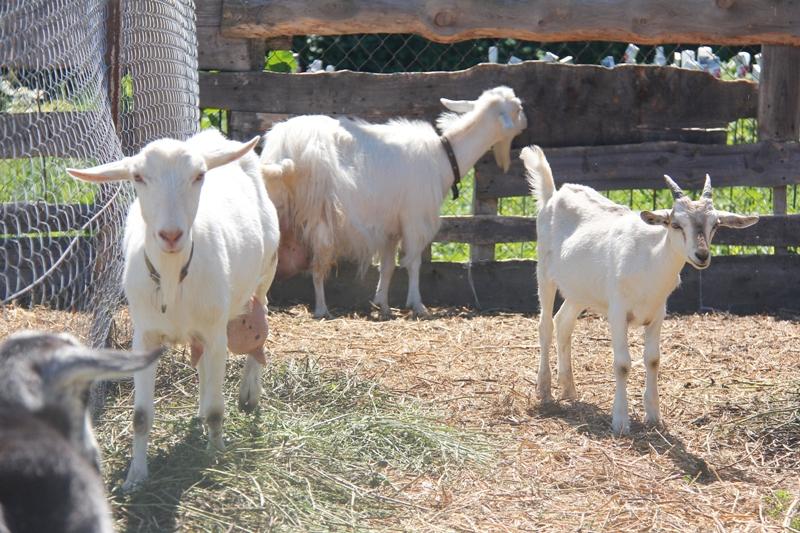 За сыром из молока козочек Бруно Косты люди приезжают из других деревень.