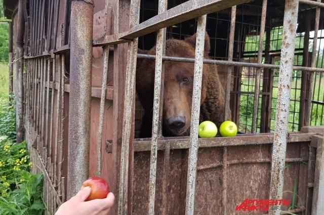 В рационе медведя должны быть мясо, рыба, овощи и крупы.