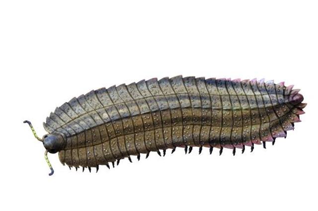 Реконструкция внешнего вида Arthropleura armata.