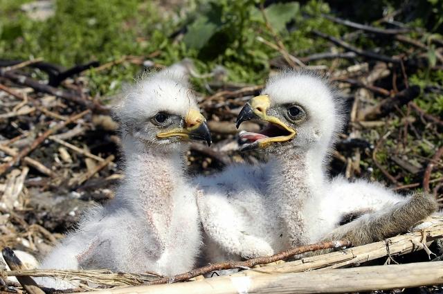 Птенцы степного орла.