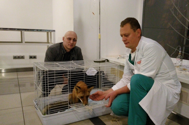 Прооперировал лисёнка профессор из Ижевска.