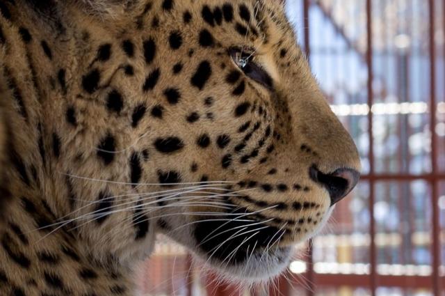 Настоящий зоопарк должен соответствовать определённым требованиям. Например, он должен содержать краснокнижных животных, как этот дальневосточный леопард.