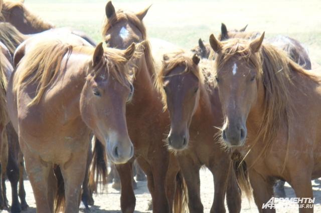 Дикие лошади крупнее и агрессивнее заводских