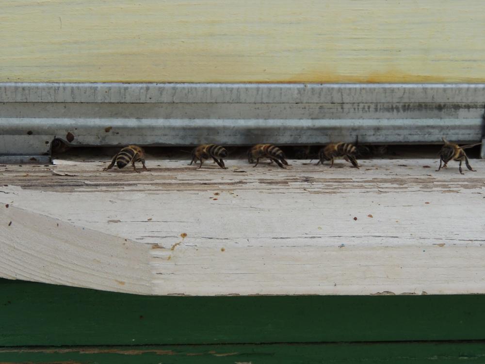 Пчёлы вентилируют ульи. Начиная с верхнего корпуса и до нижнего они расстанавливаются именно в таком порядке, чтобы циркуляция воздуха была постоянной