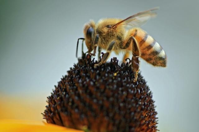 Из полосатых насекомых жало оставляет только пчела.