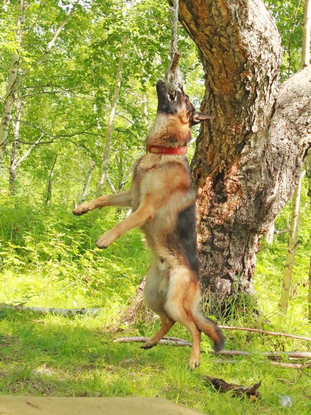 Во время обучения собаки проходят спецкурс.