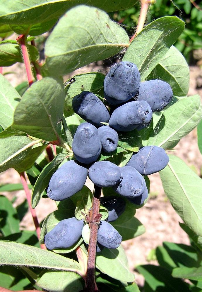 С одного куста жимолости можно собрать до 1,5 кг ягод.