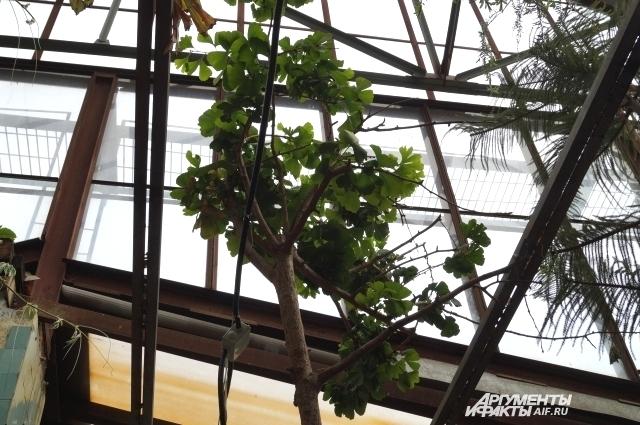 В дикой природе Гинко растёт только в Китае.