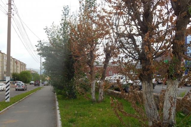 Поражённые ядом деревья засыхают буквально на глазах.